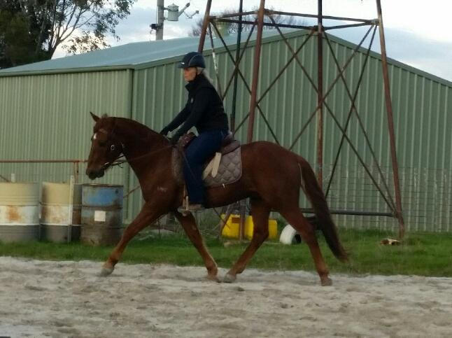 ASH gelding (reg pending) 3yo started under saddle