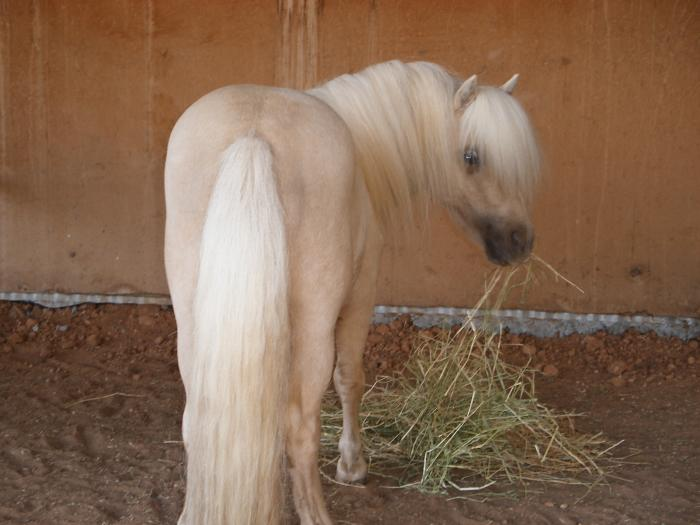 Golden Palomino Stallion