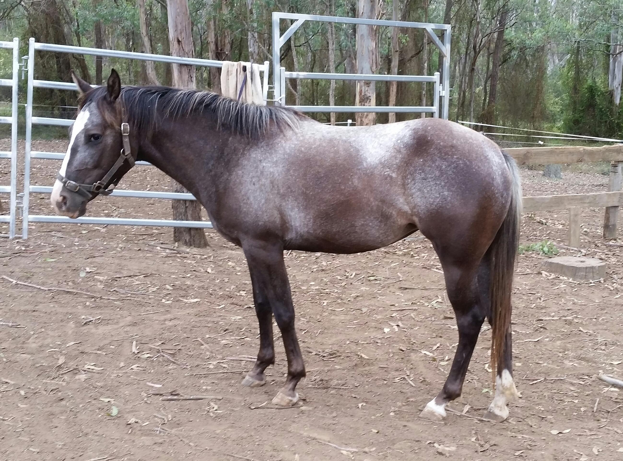 Pepper 2yrs blue roan appy x