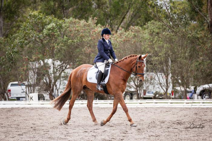 16.1 hh 10 year old chestnut warmblood gelding