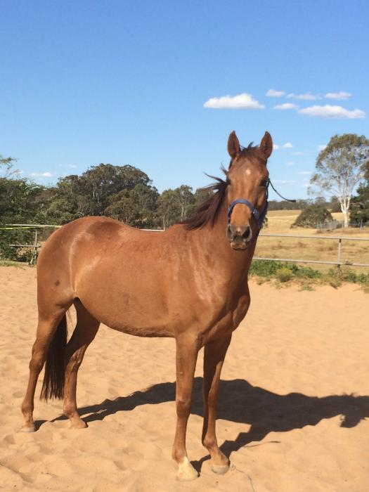 Eelegant unbroken Royal Hit filly for sale