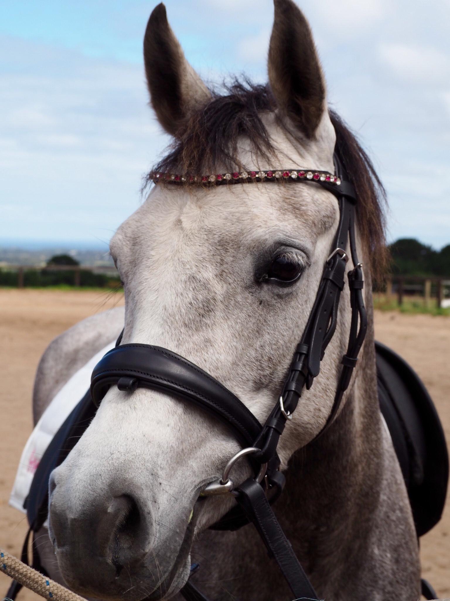 Flashy Arabian Riding Pony