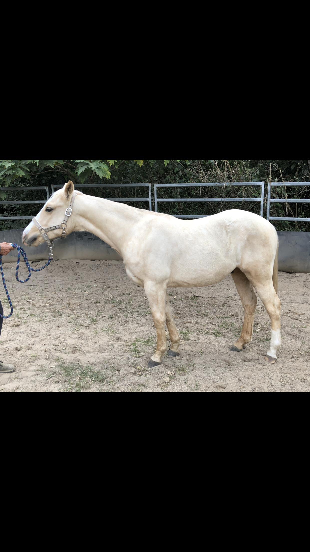 Palomino quarter horse Colt