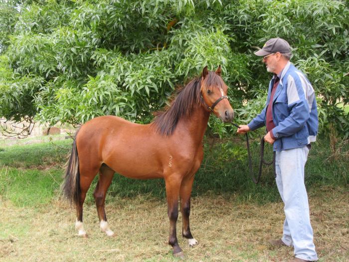 Riding Pony Colt