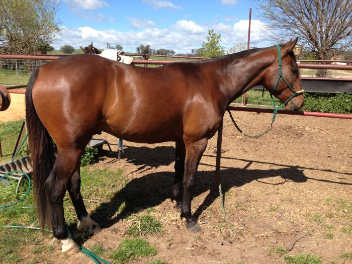 MUST SELL REGISTERED 3 YEAR OLD GELDING