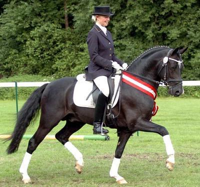 Versatile performance riding pony