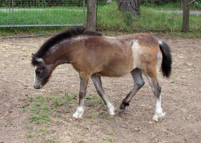 Welsh Mountain Pony Filly Bred for the Show Ring