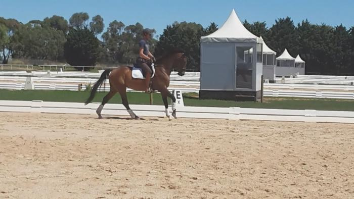 Young performance warmblood