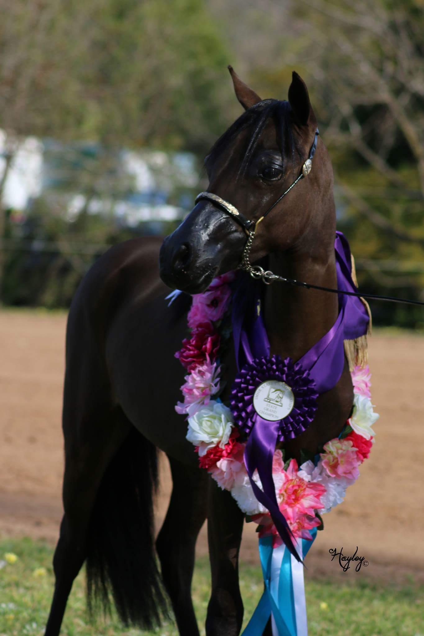 Beautiful little horse show gelding