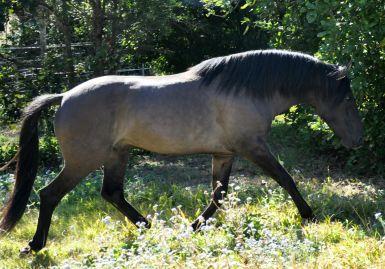 Neosho - Grulla Spanish Mustang Stallion - Gypsys sire