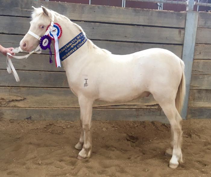 Yearling PERLINO Welsh A show colt reg WPCS & APSB