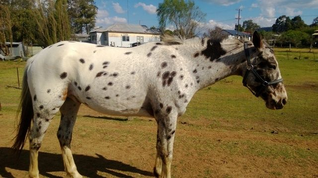 VERY QUIET GELDING WITH ALL TACK