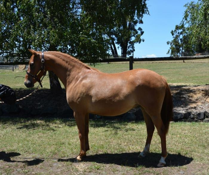 Large Show Hunter Pony - excellent opportunity