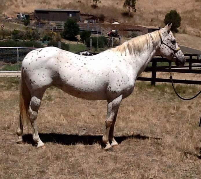 Lovely Appaloosa mare infoal to Buckskin Appaloosa