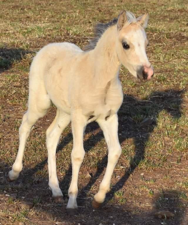 Buckskin Ysselvliedts Golden Boy (IMP NL) colt foal