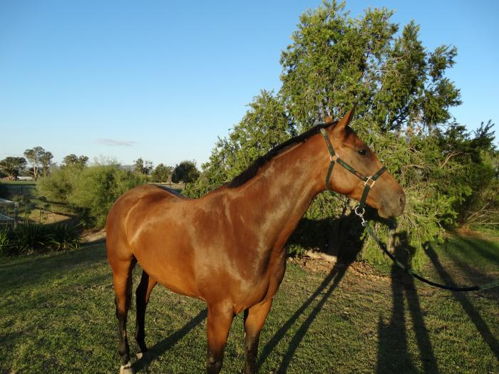 Reduced Price - Warmblood X Mare - Ride or Breed