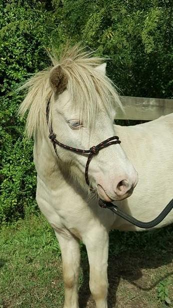 Super friendly miniature horse gelding