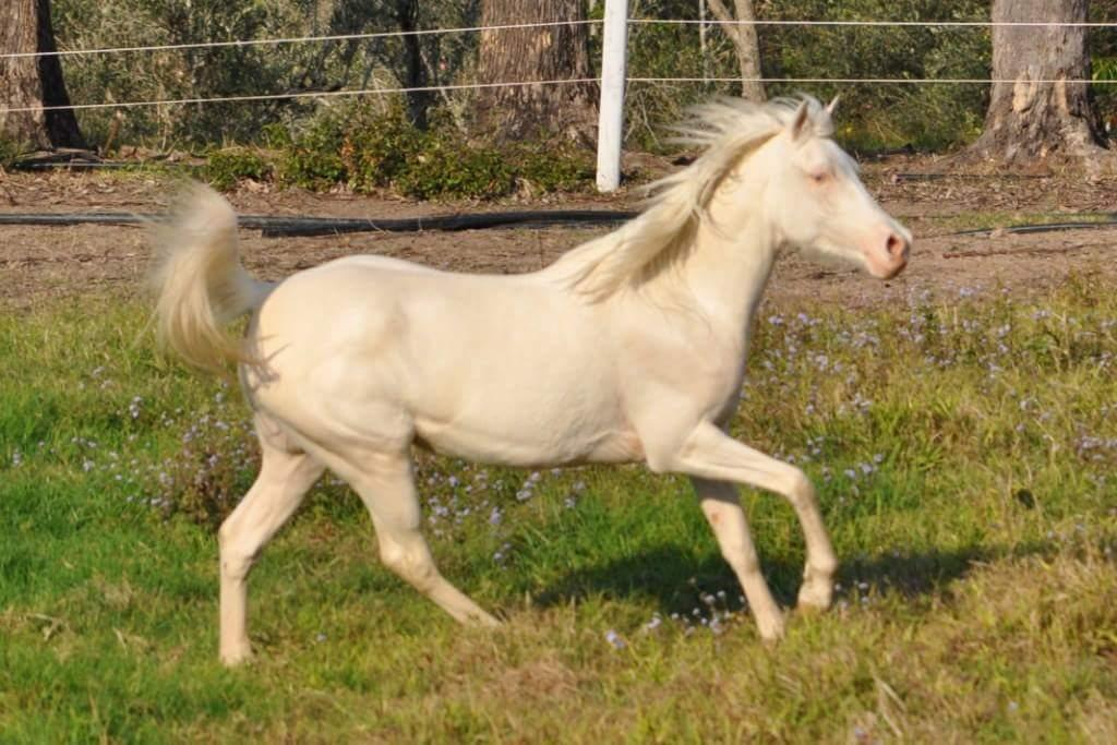 REDUCED Cremello part arabian