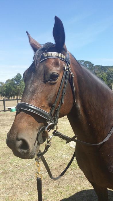 Fresian X American Saddlebred mare