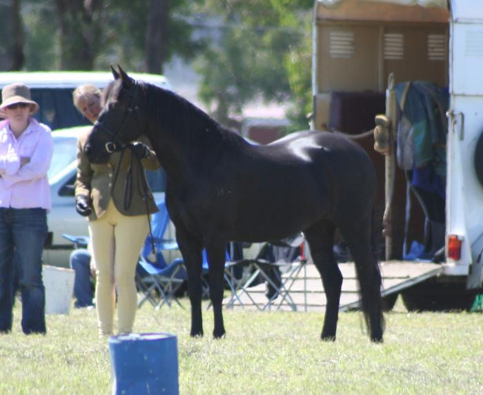 Beautiful Black New Forest Pony mare
