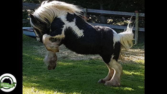 Imported Gypsy Cob Mare