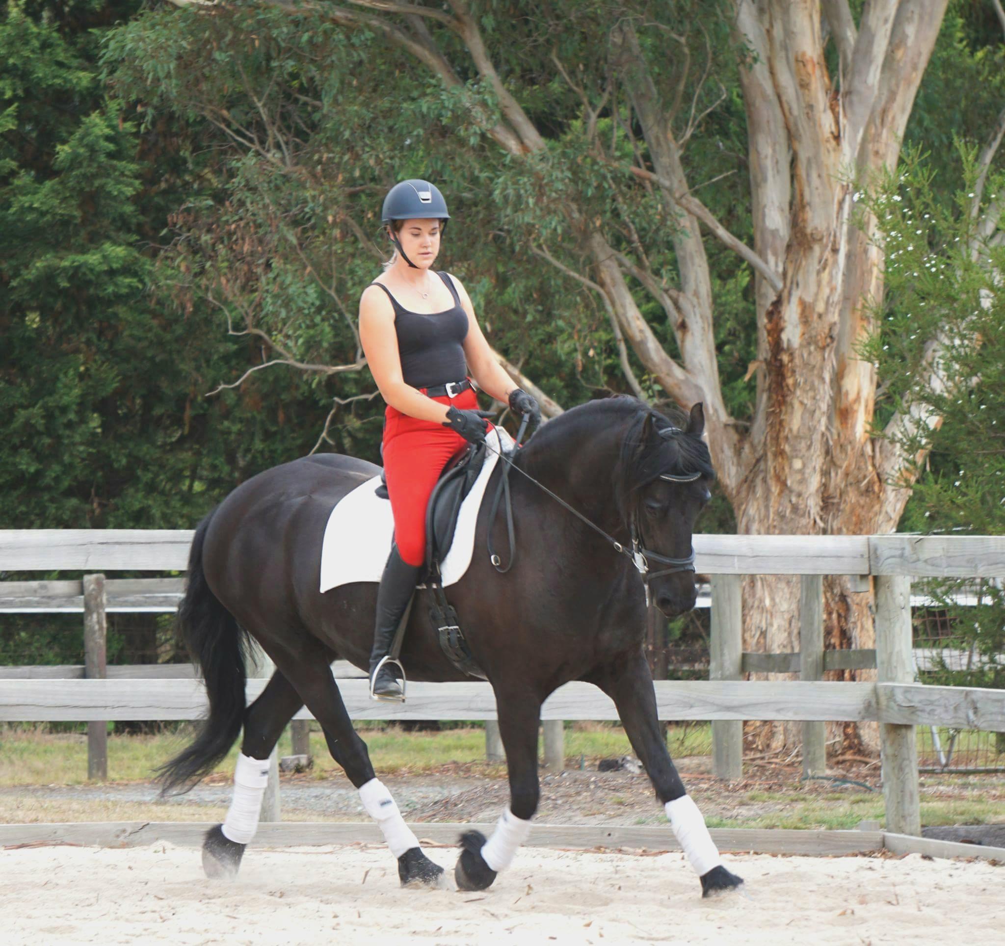 Imported purebred mare