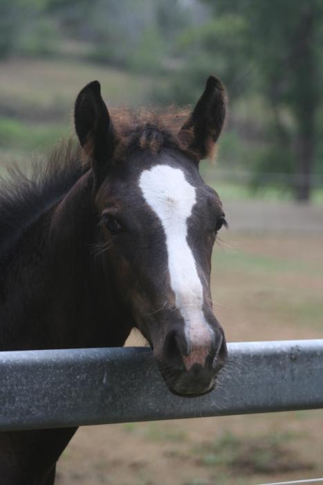Arabian warmblood filly by Prestige VDL