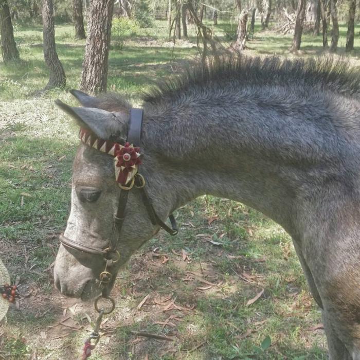 Large Australian Pony Filly