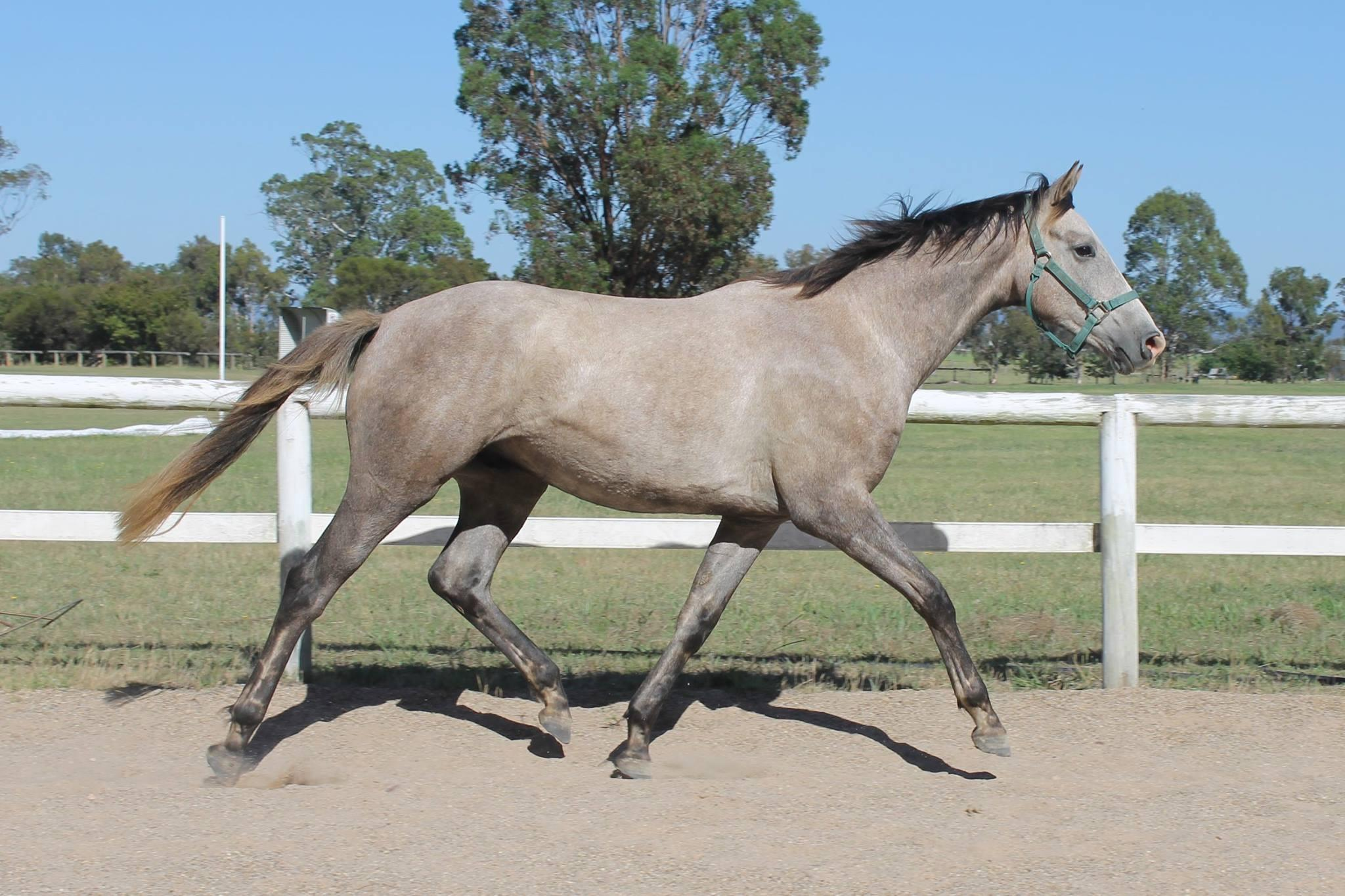 Super, Reliable Youngster with Proven Breeding