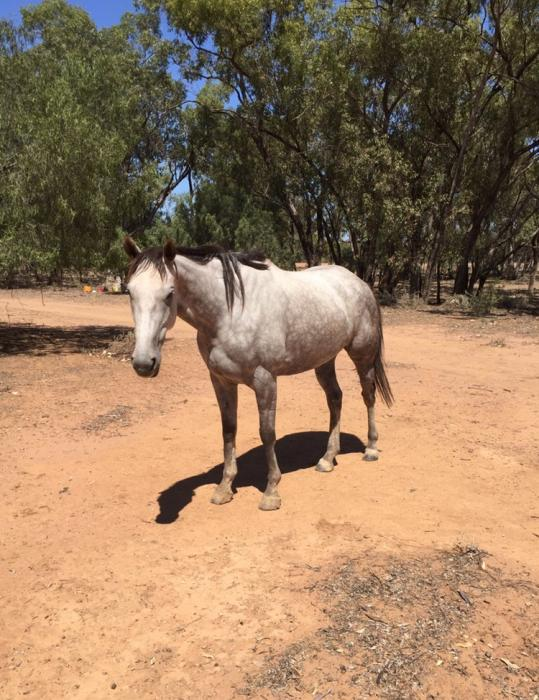 Two TB mares free to good homes