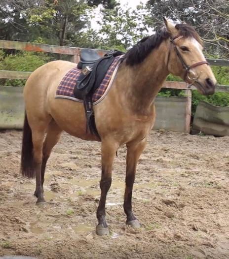 Exceptional buckskin broodmare - 6 yrs - unreg
