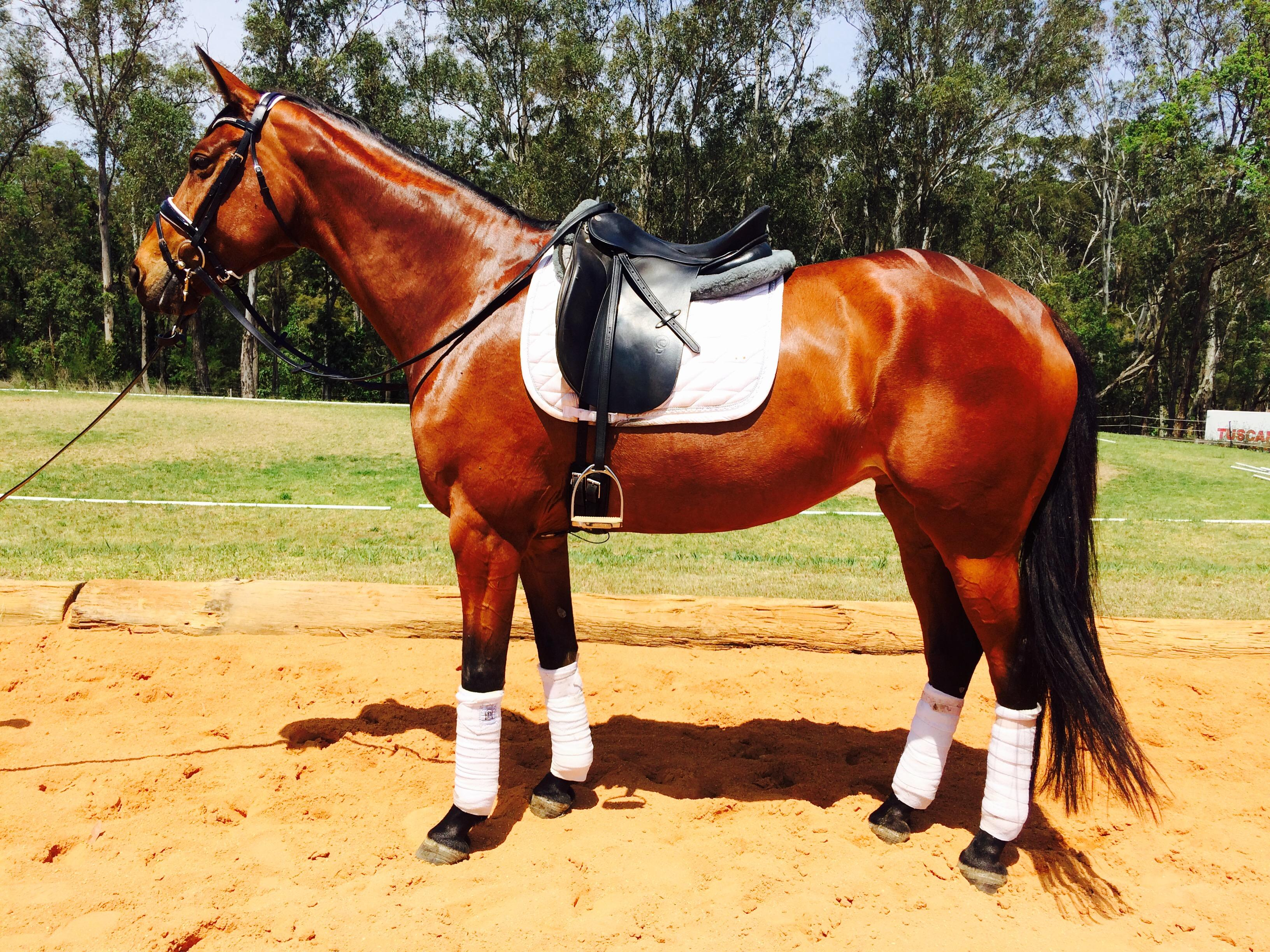 Stunning Eventing and Dressage Mare