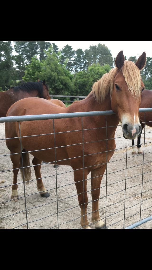 stock horse x Aust Pony Stud Book gelding