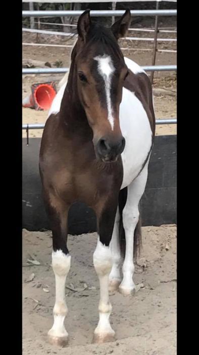 Stunning Pinto Pony