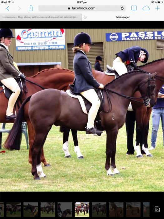 Successful show pony gelding