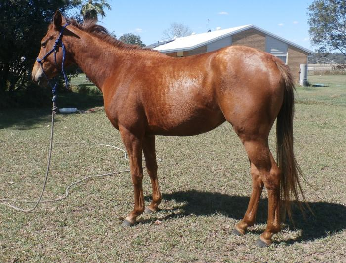 QH 3yr old filly