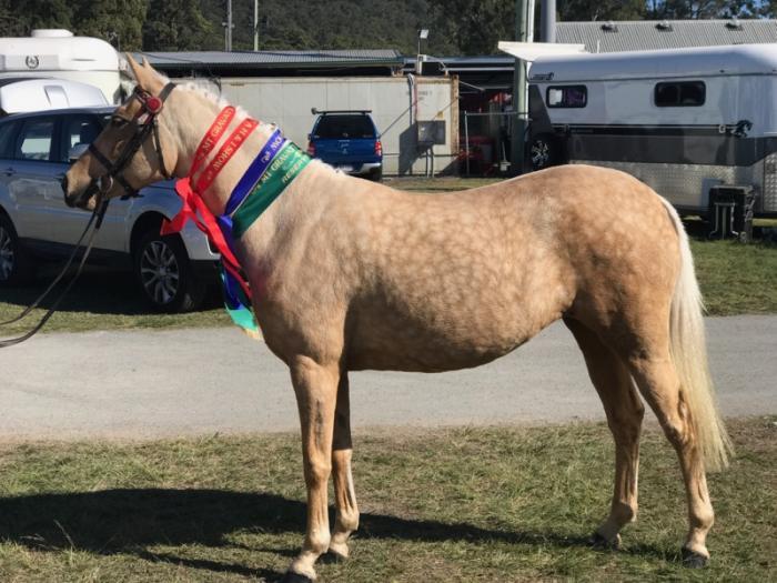 Show Quality Palomino Pony Part Arabian Mare 5yo