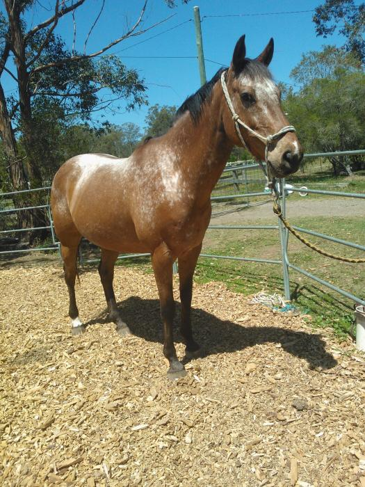 appy mare sweet and easy ... 10 yrs 15hh