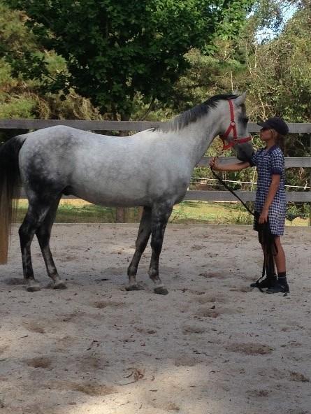 Talented Stunning Dapple Grey Arab x Welsh Pony