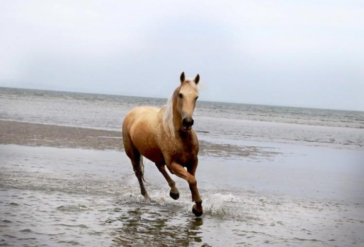Palomino Qauter Horse Gelding
