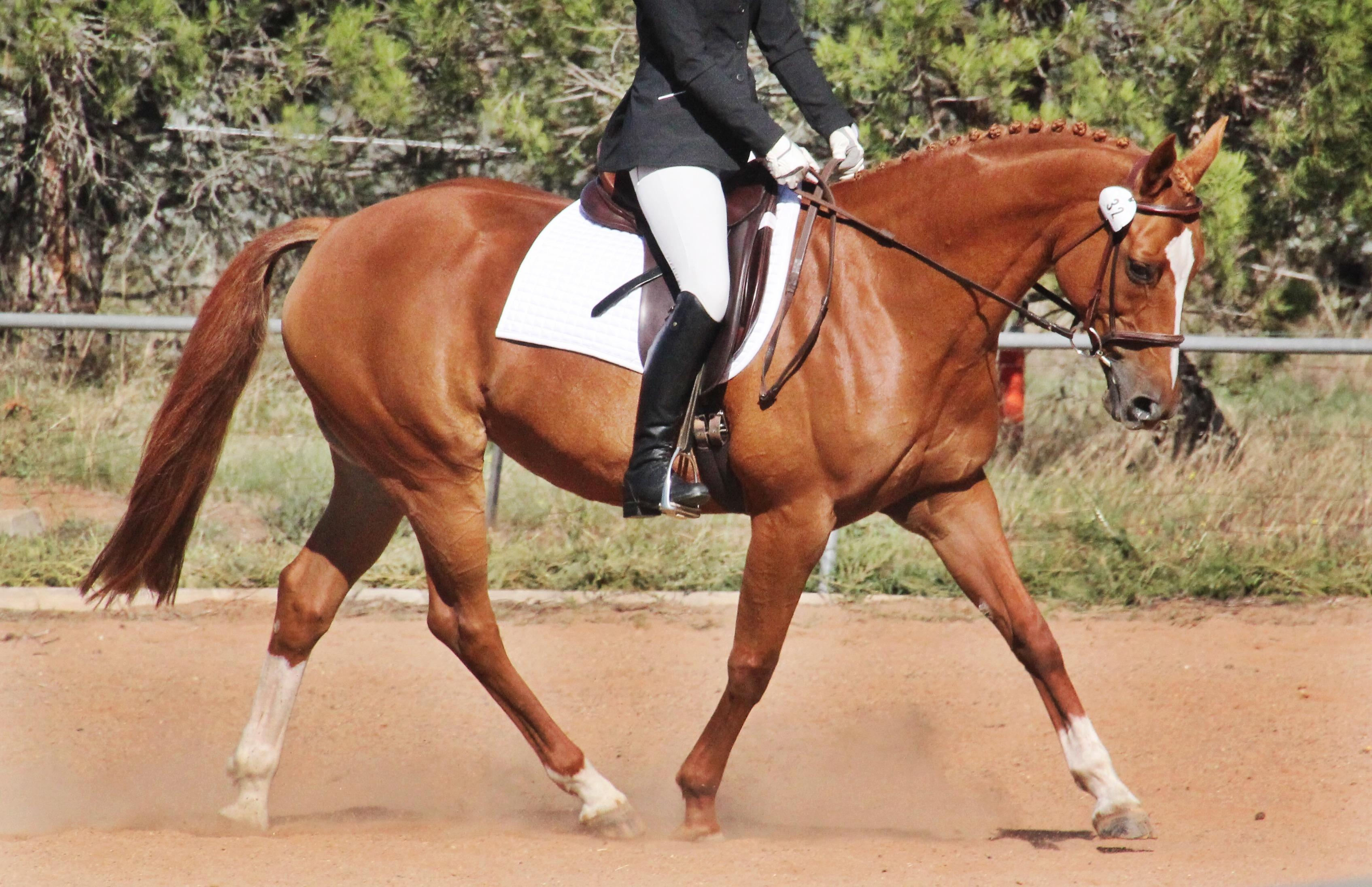 Warmblood X Mare Hacking and Dressage