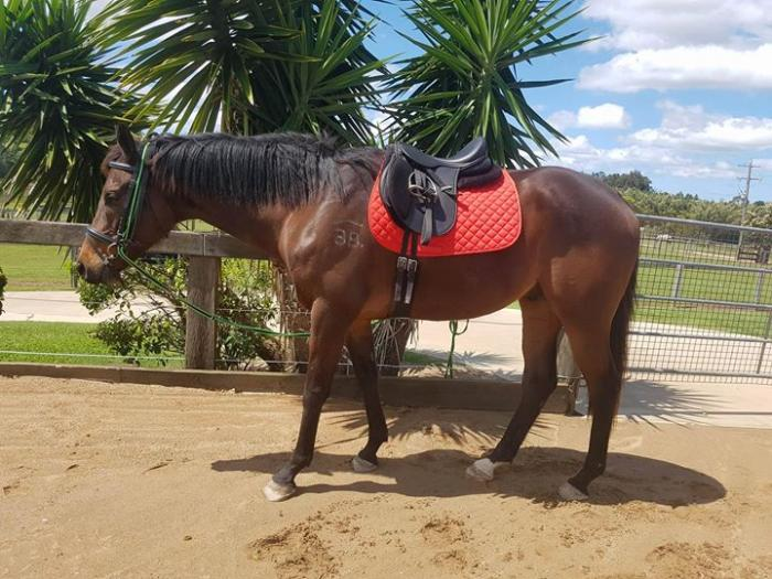 """Bentley""- 4 Year Old Thoroughbred Gelding"