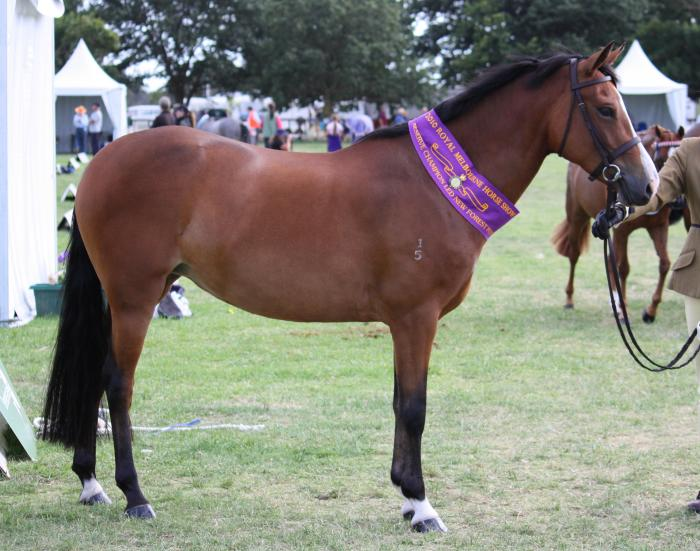 Beautiful Show/dressage new forest pony mare
