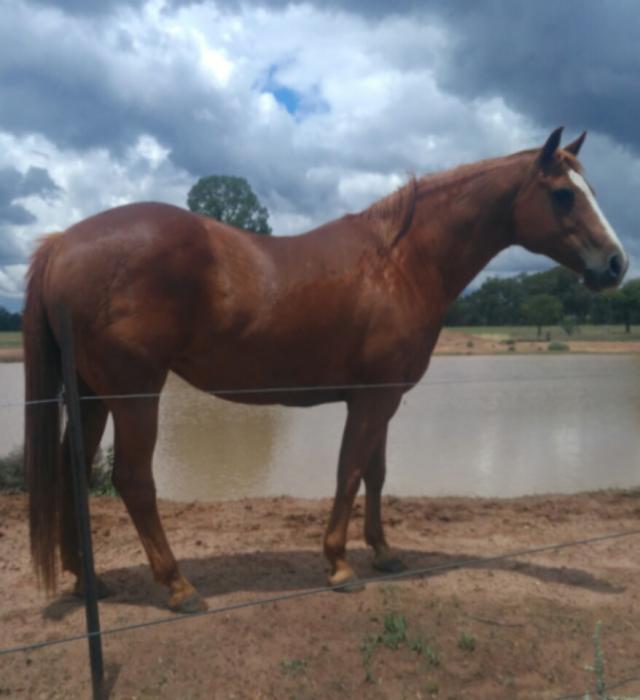 quite QH mare