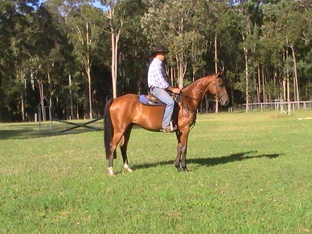 Stockhorse gelding