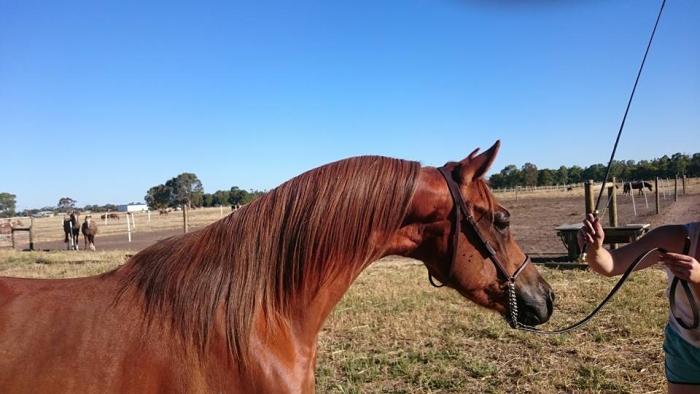 Arabian Pony Gelding - Ready to be broken in