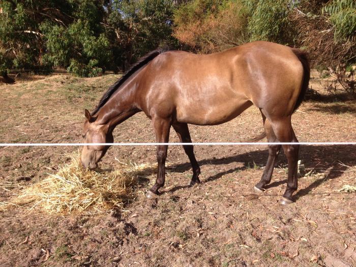 4yo burnt buckskin quarter horse X filly