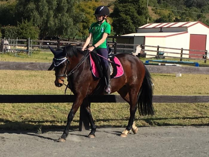 Bay Galloway Mare 14.2hh