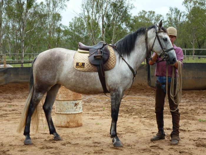 STUNNING PURE SPANISH ANDALUSIAN MARE