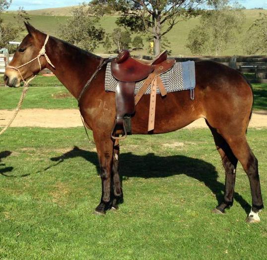 Lovely Stock Horse Mare